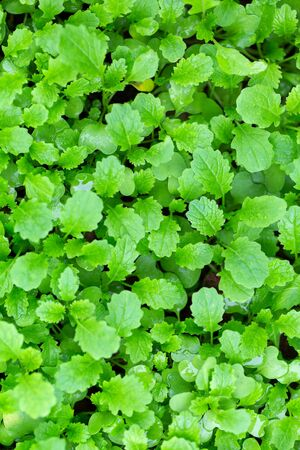 mustard leaf: Mustard plants on the field outdoors on a sunny day. Greenery - trendy color of the year 2017