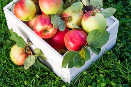 Freshly pickled ripe organic apples in white wooden crate on green grass, outside in garden, nobody Stock fotó
