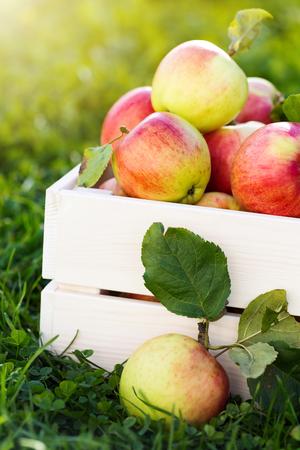 Vers gepekelde rijpe organische appels in witte houten kist op groen gras, buiten in de tuin, niemand