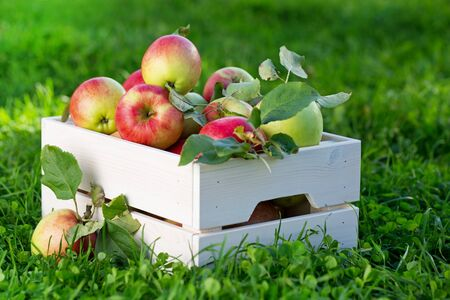 Freshly pickled ripe organic apples in white wooden crate on green grass, outside in garden, nobody Stock Photo
