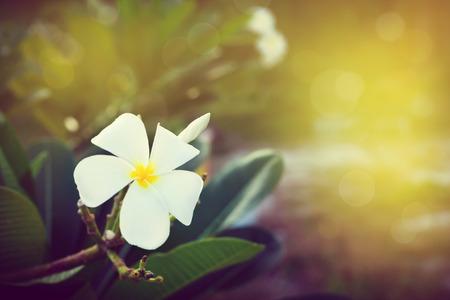 Plumeria, Frangipani, Temple Tree, Graveyard Tree, White tropical flowers blooming in tropics nature, closeup, toned image