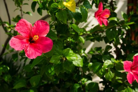 Pink Hibiscus flower in exotic tropical flora
