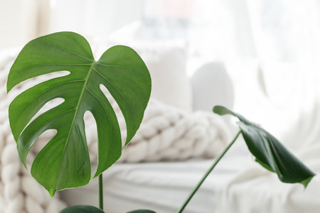 Monstera palm leaves on white merino wool blanket background, scandinavian hygge style