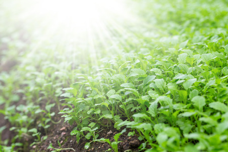 Mustard plants on the field outdoors on a sunny day Stock Photo