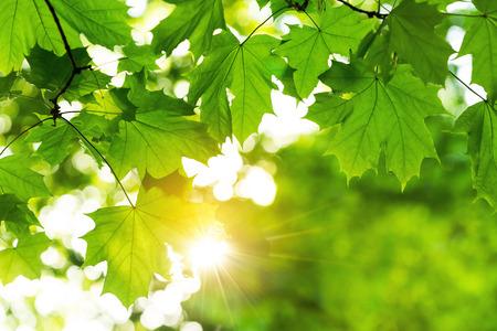 Branch of green maple leaves against sunlight