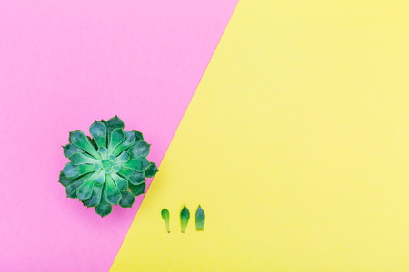 Succulent plants on color pastel paper background, top view, flat lay