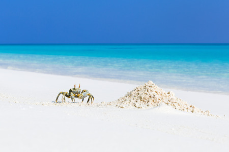 Ghost crab on white sandy beach with blue azure sea background in tropics, wild maldivian nature, travel card