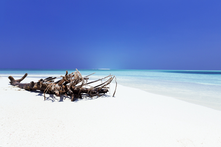 Beautiful Maldives coast, root of dry deadwood on pristine white sandy beach and crystal sea water, travel destination