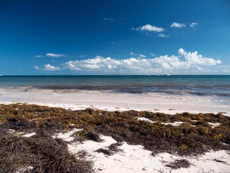 Playa tropical con algas de sargazo. Problema de la ecología del Caribe