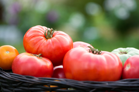 Red tomatoes in basket at the garden, outdoor. Summer harvest 写真素材