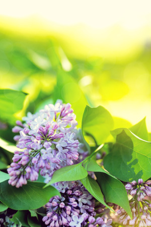Spring branch of blossoming lilac closeup. Beautiful greeting card with violet blooming flowers background
