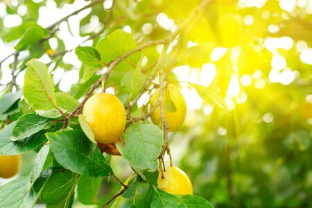 Yellow ripe plums growing at the orchard, nobody. Summer harvest Imagens