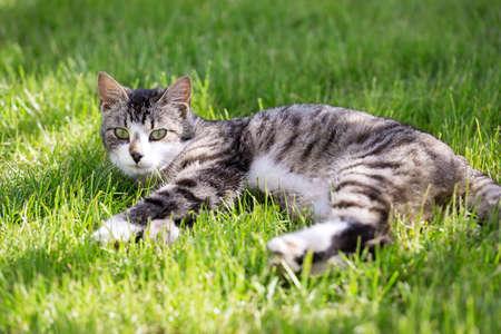 Young cat liying on green grass at the garden. Closeup Reklamní fotografie - 153700027