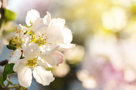 Branch with apple flowers in spring garden on natural background. Card with blooming buds closeup Reklamní fotografie - 153700031