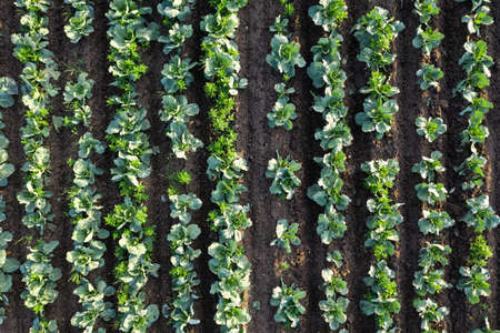 Cabbage plantation in the field. Vegetables grow in a rows. Aerial view from drone. Top view Reklamní fotografie - 153664146