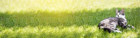 Young cat liying on green grass at the garden. Closeup. Long banner Reklamní fotografie - 153664162