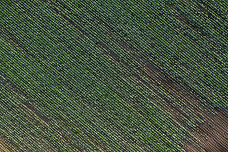 Cabbage plantation in the field. Vegetables grow in a rows. Aerial view from drone. Top view Reklamní fotografie - 153664176