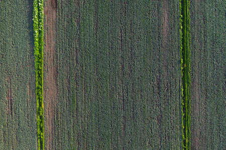 Cabbage plantation in the field. Vegetables grow in a rows. Aerial view from drone. Top view Reklamní fotografie - 153700543