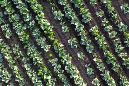 Cabbage plantation in the field. Vegetables grow in a rows. Aerial view from drone. Top view Reklamní fotografie - 153664197