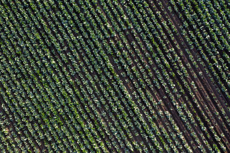 Cabbage plantation in the field. Vegetables grow in a rows. Aerial view from drone. Top view Reklamní fotografie - 153664284
