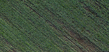 Cabbage plantation in the field. Vegetables grow in a rows. Aerial view from drone. Top view Reklamní fotografie - 153664410