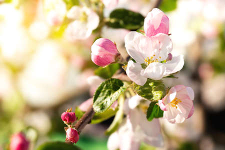 Branch with pink apple flowers in spring garden on natural background. Card with blooming buds closeup Reklamní fotografie