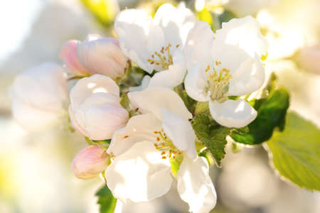 Branch with apple flowers in spring garden on natural background. Card with blooming buds closeup