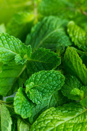 Natural background of fresh green mint leaves, aromatherapy or food ingredient concept