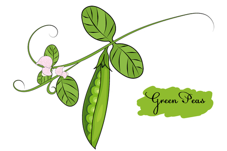 A green peas on a branch with flowers. vector illustration.