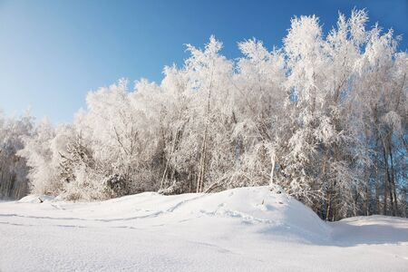 snowbank: birch grove under snow on sunny day Stock Photo