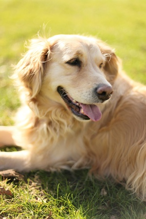 beautiful labrador on a sunny meadow photo