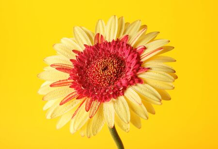 yellow gerbera on yellow background photo