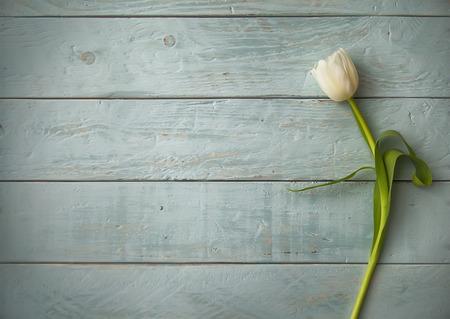 Weiße Tulpe auf schäbigen blauen Holz Standard-Bild - 25962343