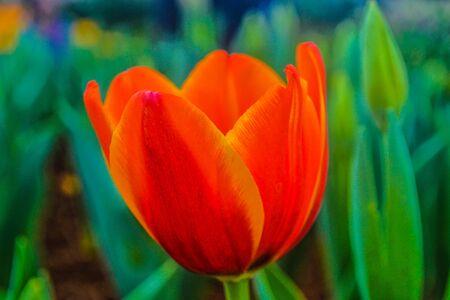 khon: Tulip photos from the International Flower Festival  Khon Kaen Province, Thailand