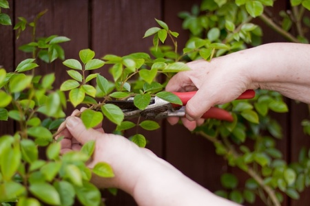 Pensioner with a hedge trimmer cuts  rose photo