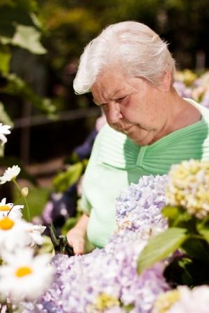 garden shears: mujer de edad avanzada con las tijeras de jard�n, flor cortada Foto de archivo