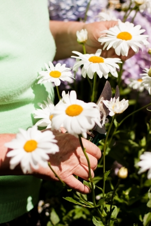 hale: senior woman cut daisies in the garden Stock Photo