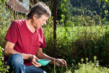 Senior man gather wild strawberries in his garden photo