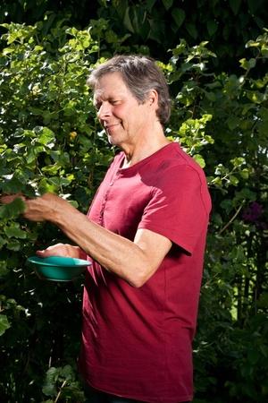 older man in his garden is picking berries photo