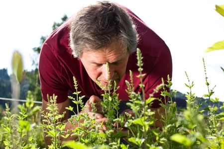 peppermint: attractive older man in his garden smells of peppermint bushes Stock Photo