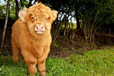 calf: highland calf is watching the viewer, horicontal Stock Photo