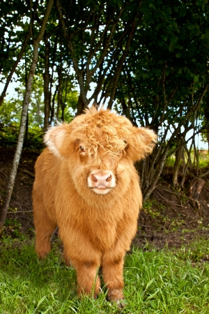 scotish: highland calf is watching the viewer, vertical Stock Photo