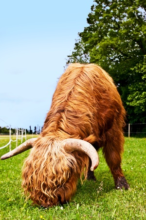 scotish: mighty brown higland cattle is eating grass