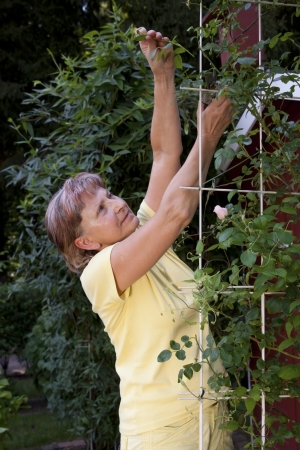 maintains: Active older woman maintains her roses