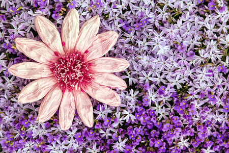 moos: greeting card pink paper flower with a sea of purple spring blooms