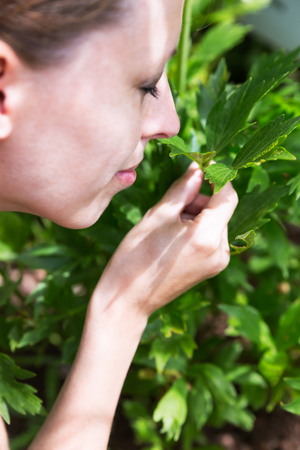 aromatic: lovage outdoor in the garden, woman is picking some and smelling on it