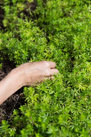 sweet woodruff: woodruff outdoor in the garden, woman is picking some Stock Photo