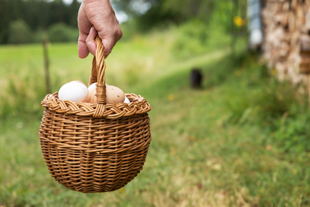 chicken and egg: hand is holding a basket full of fresh bio eggs, green meadow with copyspace