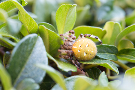 eight legs: german cross spider, outdoor on a leaf