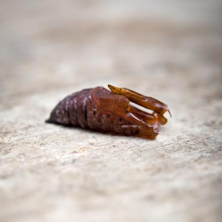 convolvulus: pupa of a Convolvulus Hawk-moth on a wooden table